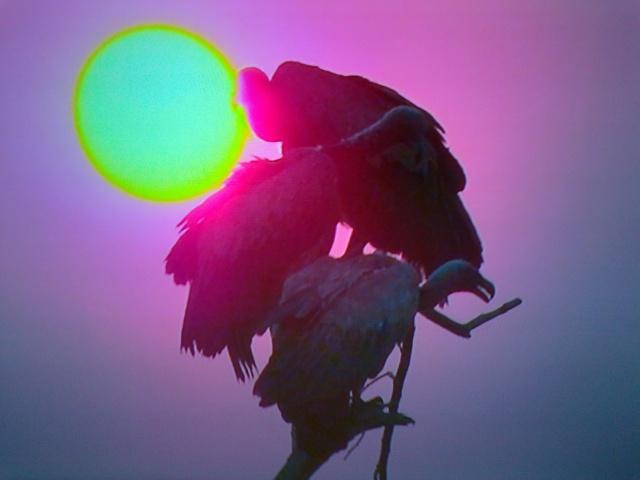 Condor... o