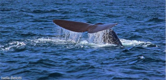 Balena Isole Lofoten