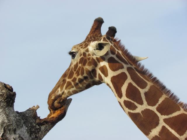Giraffa golosa...