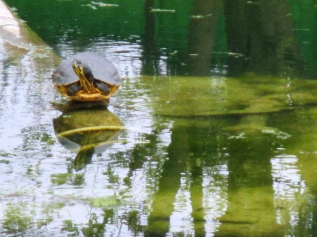 La tartaruga del laghetto